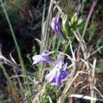 glade-lobelia-lobelia-glandulosa_26767912989_o