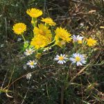 goldenaster-chrysopsis-sp-and-elliotts-aster-symphyotrichum-elliottii_37827778914_o