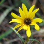 narrowleaf-sunflower-helianthus-angustifolius_26767919539_o