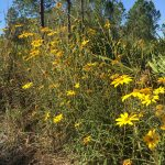 narrowleaf-sunflower-helianthus-angustifolius_37827778004_o