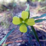 primrosewillow-ludwigia-sp_38487630066_o