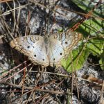 white-peacock-anartia-jatrophae_38487619876_o