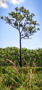 1.Longleaf Pine w/palmettos